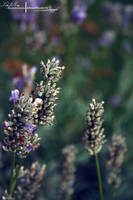 Vintage Lavender. by ElementaryDearWatson