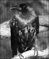 Crow Profile by SilkenWinds