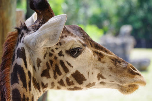 Gazing Giraffe by SilkenWinds