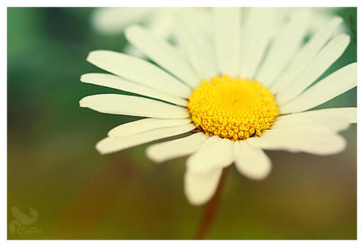 Leucanthemum vulgare by Mrs-Cloudia-S