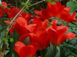 tulips uit Rotterdam.. by annelouisa