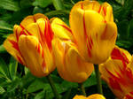 tulips uit Rotterdam - 2 by annelouisa