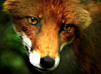 Fox 2 by Lidodido