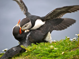 Puffin Fight by celtes