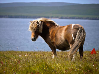 Shetland Pony by celtes