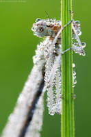 Dragonfly like the waterdrops by Viand