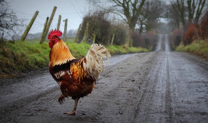 Why did the chicken cross the road? by maternaghan