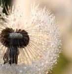 Sparkled Dandelion by Betuwefotograaf