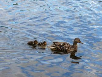 Little Ducklings by CassandraKnight