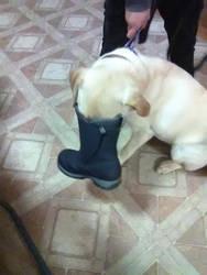 Silly Labrador by notsuchanepicperson