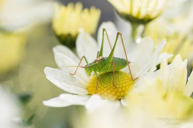 Grasshopper by FrederiqueNiewohner