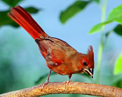 Female cardinal by clippercarrillo
