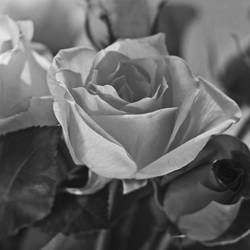 a rose for Teresa by clippercarrillo