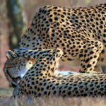 cheetah hug in color by clippercarrillo