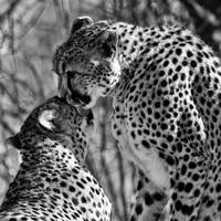 A  Cheetah Kiss by clippercarrillo
