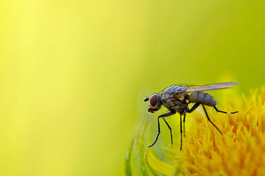 Yellow Dung Fly (Scathophaga stercoraria)? by laemplein