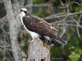 Osprey Waiting for Fish by CJCNightFox