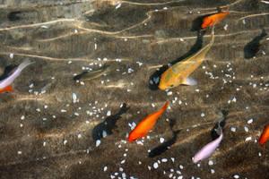 goldfish by lilalo-art