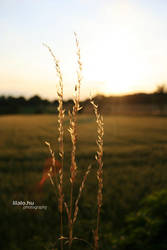 wheat and sun by lilalo-art