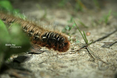 caterpillar by lilalo-art