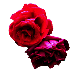 PNG Rose two by MortisQueen