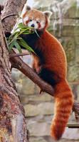 Red Panda by fremlin