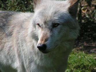 like wolves? by firetigerdemon
