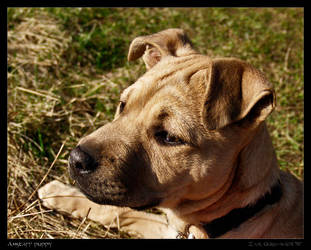 Amstaff puppy by Zair-Ugru-nad