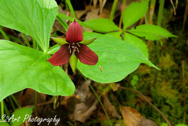 Red Trillium by theon07