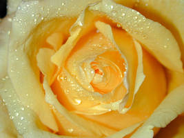 Yellow Rose by raggyann321