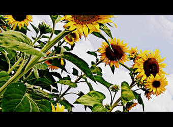 Sunflower by niwaj