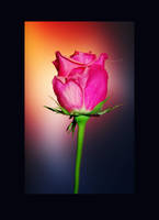 touch of pink by Saher4ever