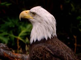 San Antonio Zoo-American Bald Eagle 02 by CoyoTea9