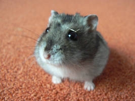 Chomcio - the Wild Hamster by Clairei