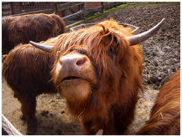 Highland Cow by monkeyman1988