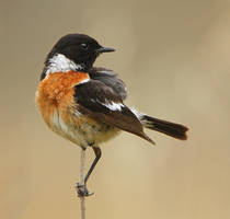 Stonchat    Male by Jamie-MacArthur