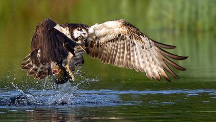 Osprey with Raindow trout by Jamie-MacArthur