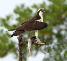 Osprey by Jamie-MacArthur