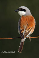 Red-Backed Shrike by Jamie-MacArthur
