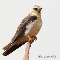 The Sentinel Black-shouldered Kite by Jamie-MacArthur