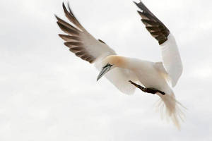 Prepared for landing - Northern Gannet by Jamie-MacArthur