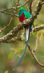 Resplendent Quetzal by Jamie-MacArthur