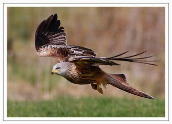 Red-kite by Jamie-MacArthur