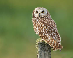 Waiting patiently - short-eared Owl by Jamie-MacArthur