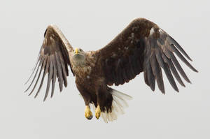 Hanging Ten - White-tailed Eagle by Jamie-MacArthur