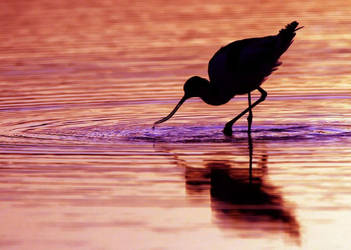 Ripples in the sunset - avocet by Jamie-MacArthur