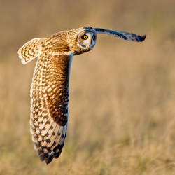 Silence is golden - Short-eared Owl by Jamie-MacArthur