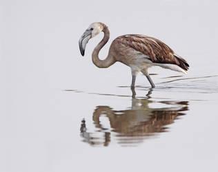 Disturbing the peace - Greater Flamingo juvenile by Jamie-MacArthur