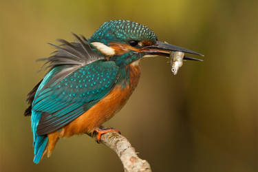 Ruffled feathers by Jamie-MacArthur
