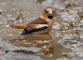 Do you mind ? -Hawfinch by Jamie-MacArthur